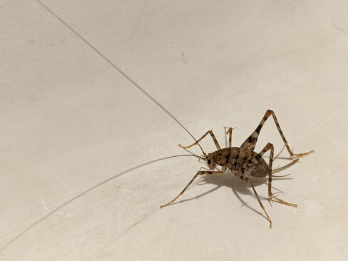 Cave cricket laying on the wall.