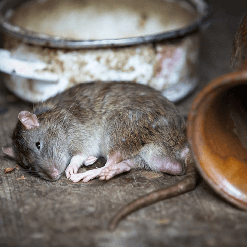 A rat resting after eating. Permakill Exterminating - Your rodent exterminators and control experts in New Jersey