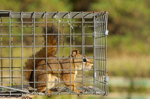 Squirrel trapped in a cage by Permakill Exterminating removal experts