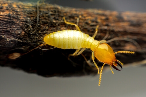 Yellow termite hanging on a piece of wood.